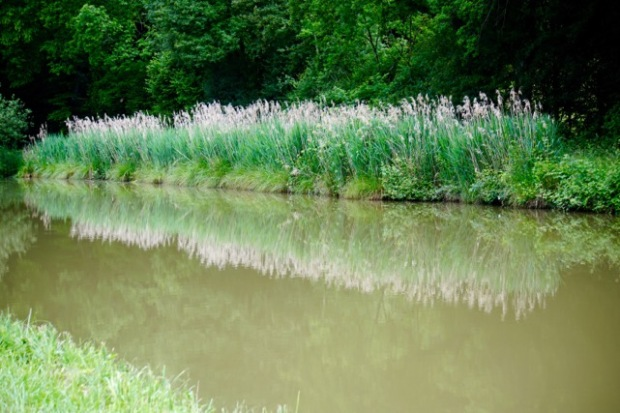 canal reeds