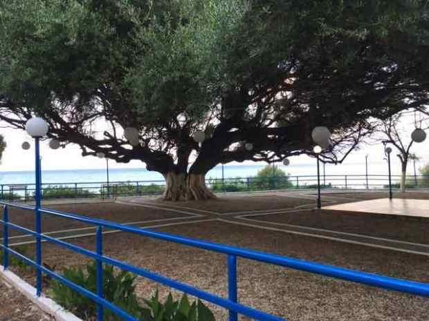 Alissos olive tree