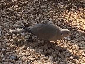 los pinos collared dove