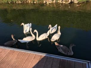 Friso PsY swans
