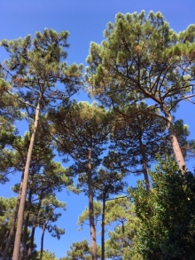 Biscarosse trees